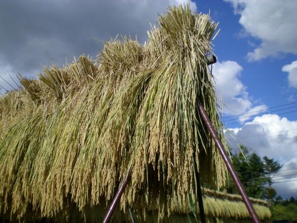 稲刈り/農園